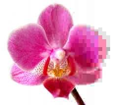 Phalaenopsis - image by André Karwath