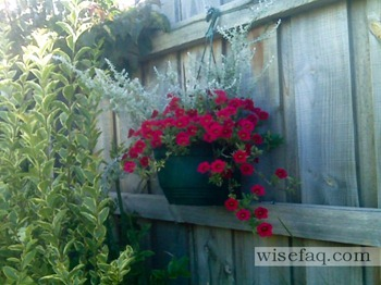 red trailing petunias