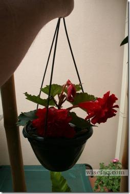 Tubular Begonia
