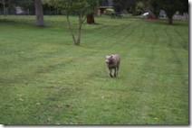 Dog paddock - Nikki running