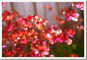 Begonia - 1