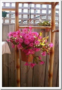 Cactus Rhipsalidopsis