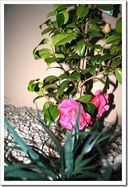 Camellia - 1