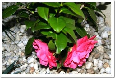 Camellia - 2